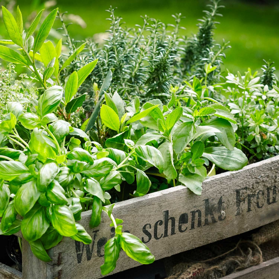 Come Far Morire Una Pianta piante aromatiche, quando è il momento giusto per la potatura?
