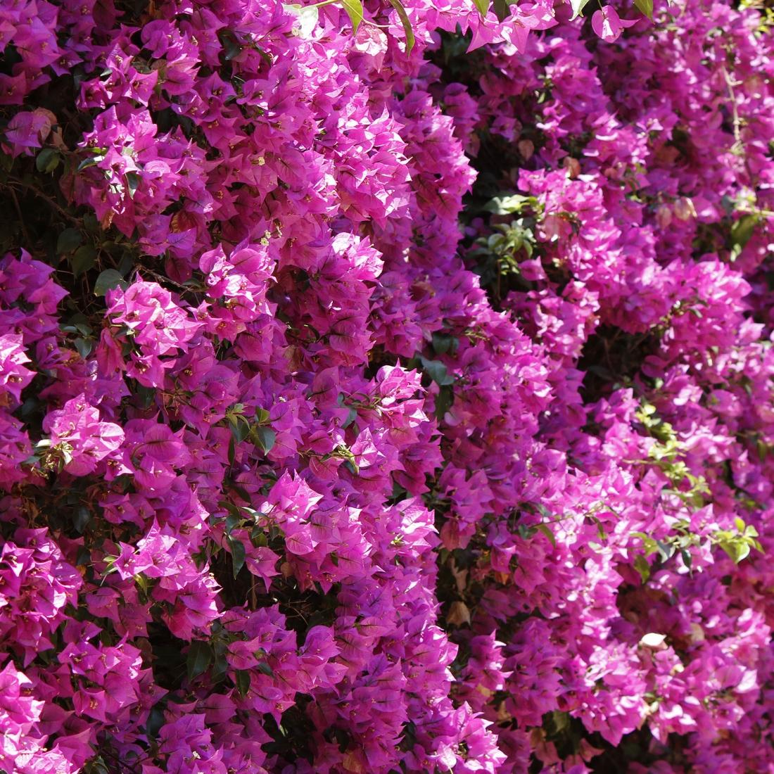 Fiori Da Vaso Perenni giugno, quali sono i fiori da piantare