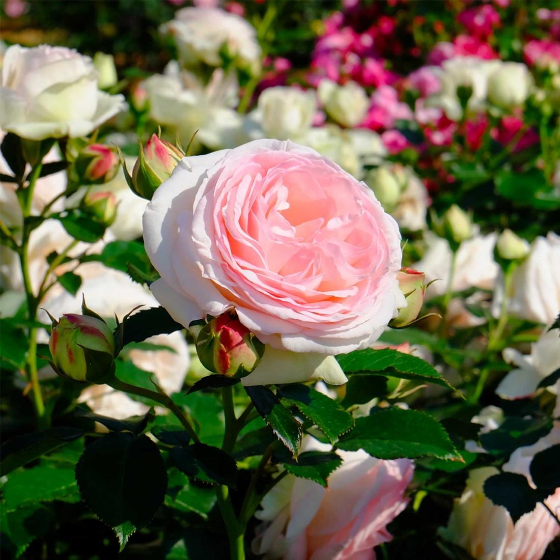 Rose Da Taglio Rifiorenti rose meilland, tutte le curiosità su questo fiore