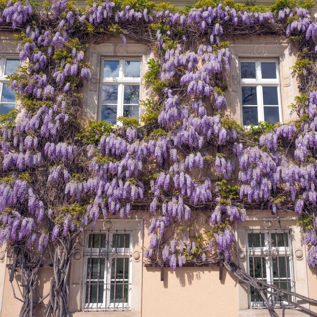 Piante Rampicanti Da Esterno piante da giardino rampicanti, quello che c'è da sapere e