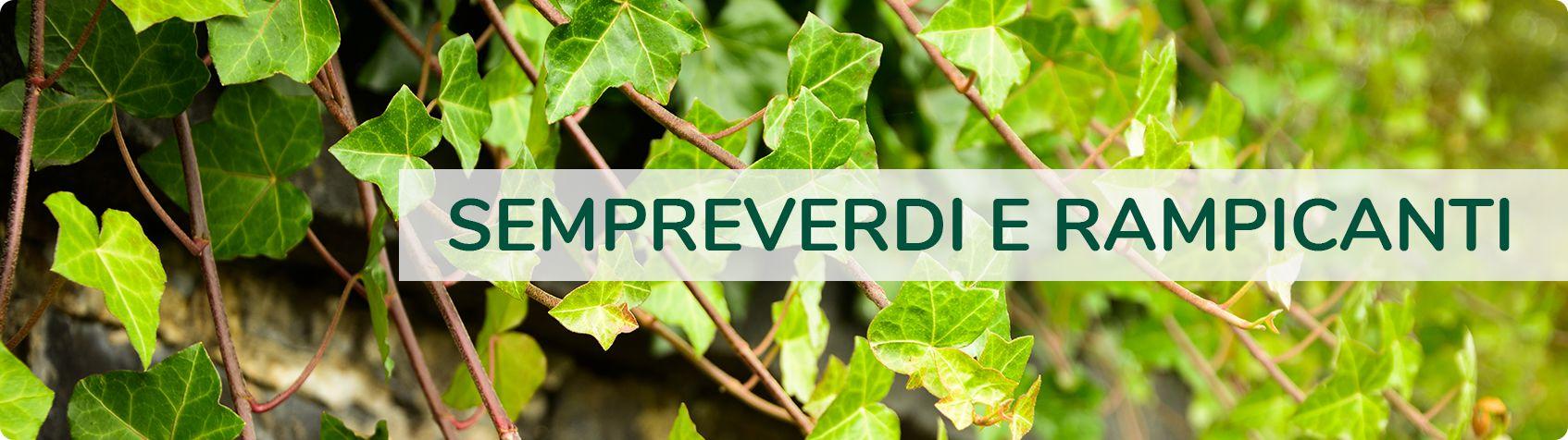 Piante Da Frutto Sempreverdi sempreverdi - piante fiori