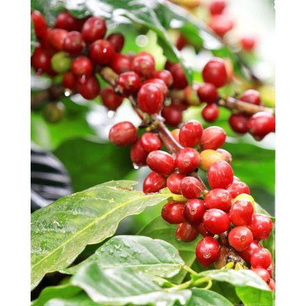 COFFEA ARABICA PIANTA DEL CAFFÈ IN VASO 9CM