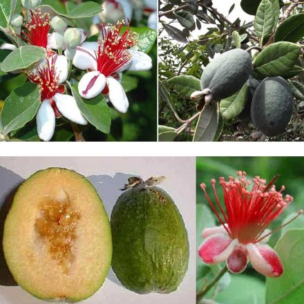 FEIJOA SELLOWIANA (1 PIANTA)