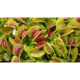 10 + guida pianta carnivora di Dionaea muscipula /'bimbo/' Semi