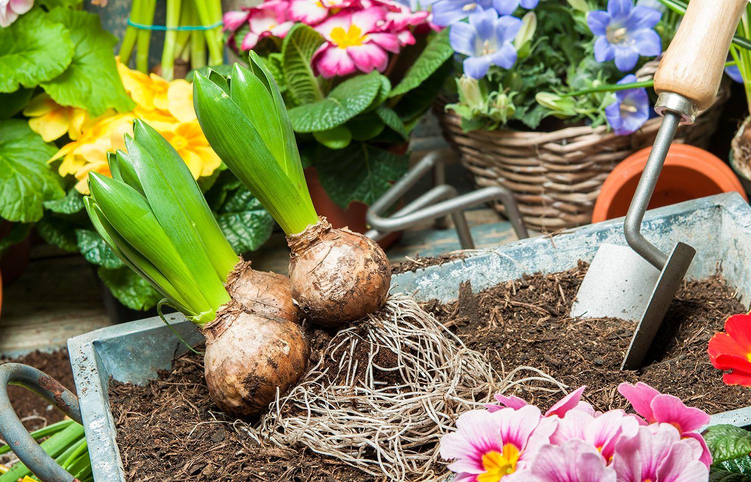 Quali Bulbi Piantare In Primavera come coltivare i bulbi in vaso