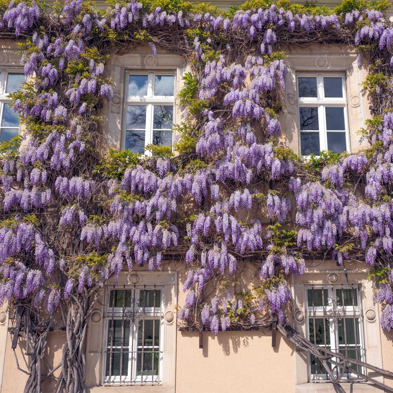 Rampicanti Che Crescono All Ombra piante da giardino rampicanti, quello che c'è da sapere e